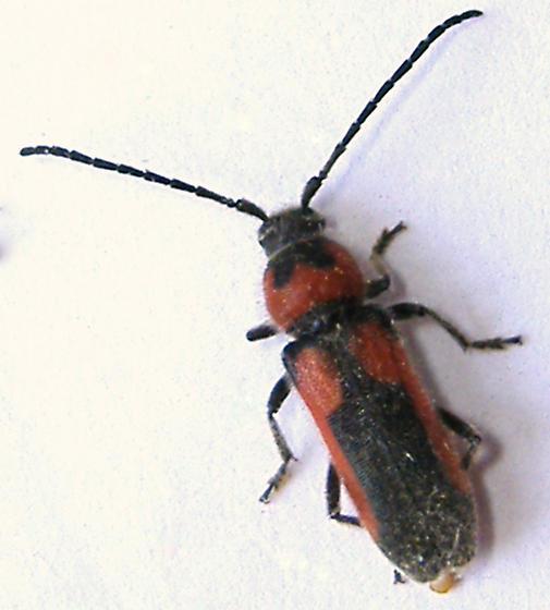 longhorn - Crossidius discoideus