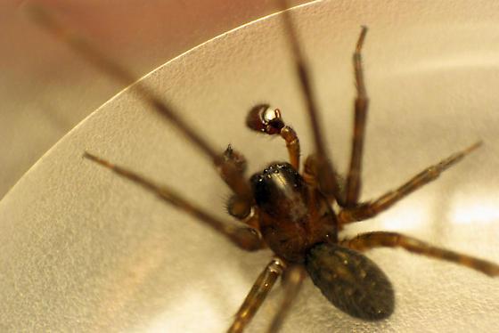 Amaurobius ferox adult male - Amaurobius ferox - male