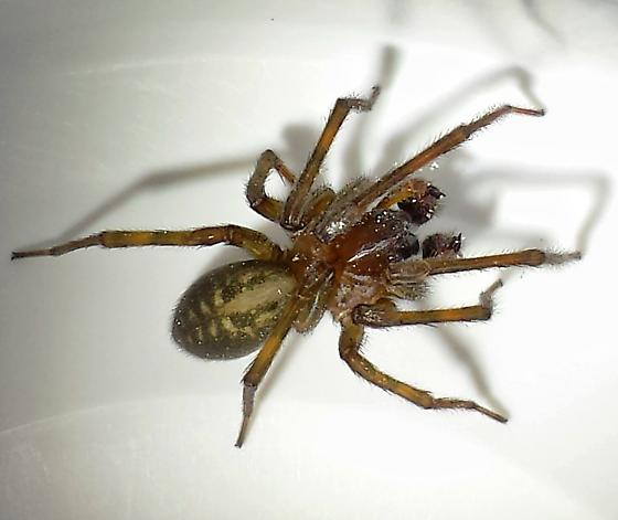 spider on the wall - Amaurobius ferox