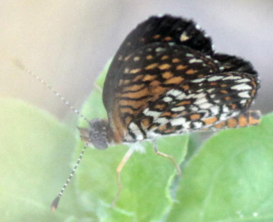 Elada Checkerspot - Microtia elada