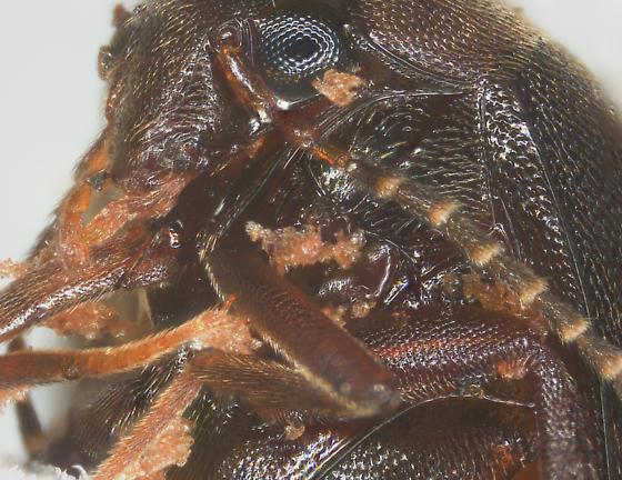 Scirtidae or Eucinetidae?