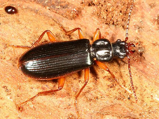 Dead Log Beetle - Pytho americanus