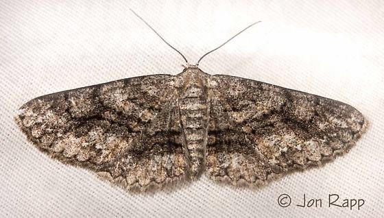 Glena nigricaria - female