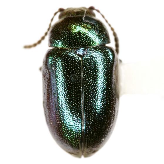 Gastrophysa cyanea Melsheimer - Gastrophysa cyanea