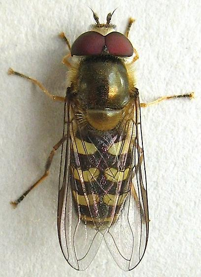 Syrphid Fly - Lapposyrphus lapponicus - male