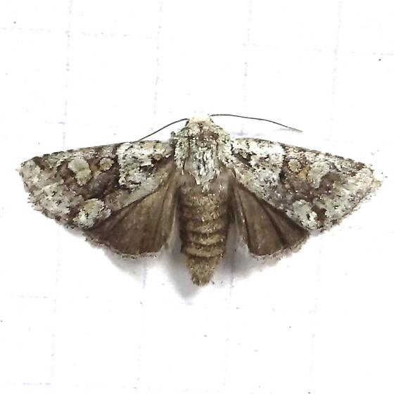 Hodges#10412 - Lacinipolia marinitincta