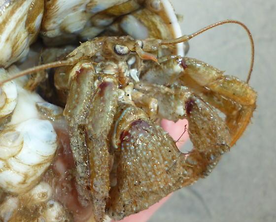 Hermit Crab - Pagurus pollicaris