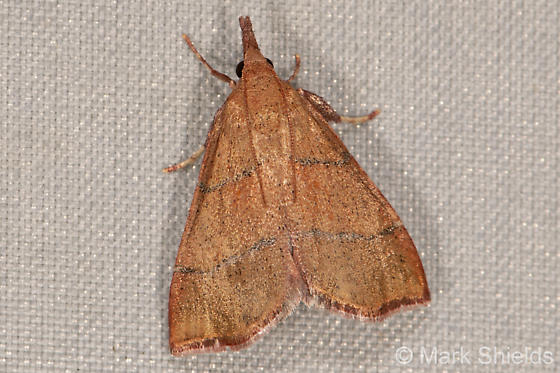 black-striped moth - Lepidomys irrenosa