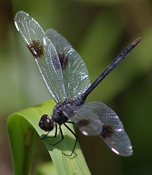 Dragonfly 2 - Brachymesia gravida