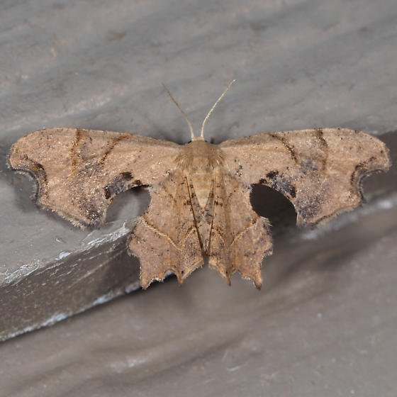 Brown Scoopwing - Calledapteryx dryopterata