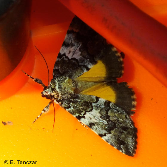 Underwing - Allotria elonympha