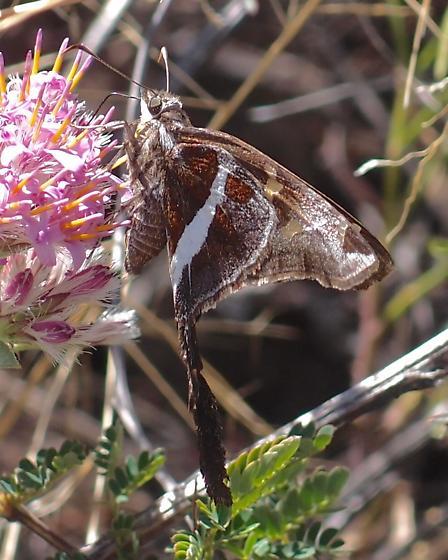 Chioides albofasciatus