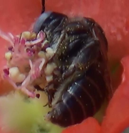 Small Chimney Bee - Globe Mallow Bee (Abdominal Apex) - Diadasia diminuta - male