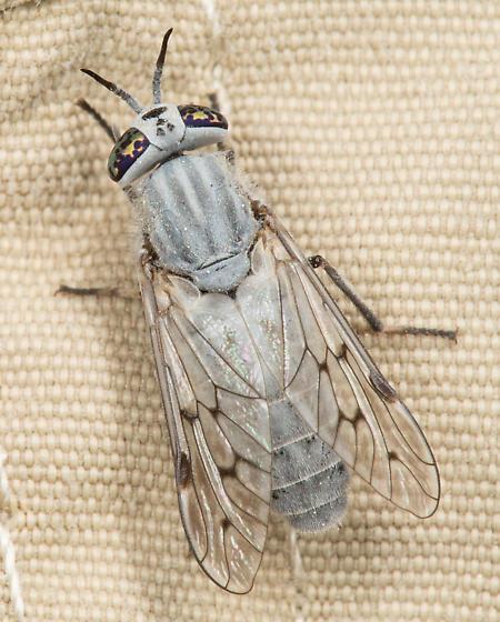 Silvius abdominalis - female