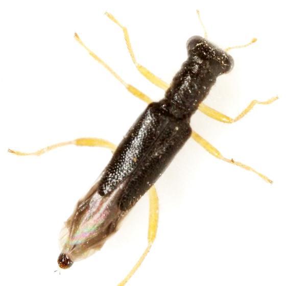 Isohydnocera curtipennis (Newman) - Isohydnocera curtipennis