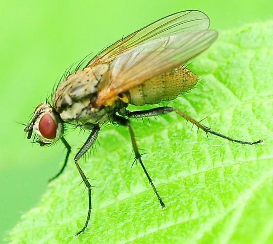 Root-Maggot Flies Hydrophoria lancifer  - Hydrophoria lancifer - female