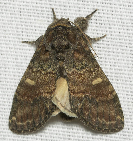 prominent moth