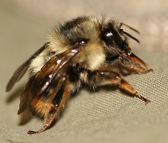 Bumble Bee - Bombus mixtus - female