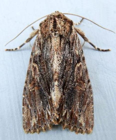 Pennsylvania Moth - Morrisonia confusa