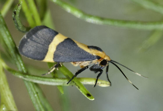 One of the lichen moths was flying by the river - Cisthene tenuifascia