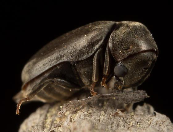 Ptilinus sp. - Megorama