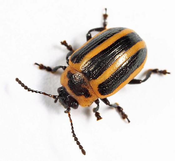 leaf beetle - Calligrapha californica