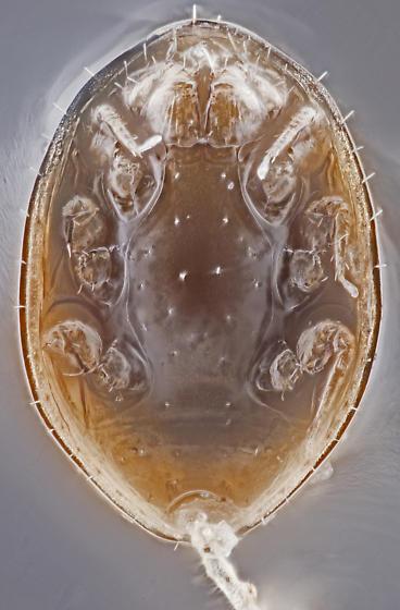Phoretic mite, air mounted, ventral