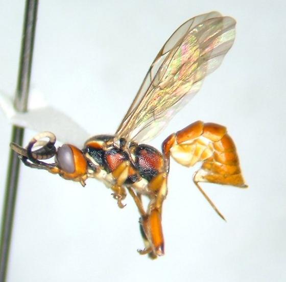 Ichneumonid - Cratichneumon paratus - female