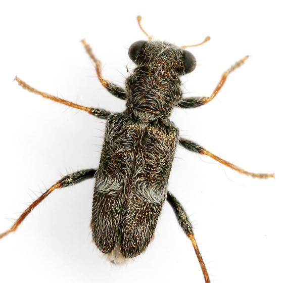 Phyllobaenus subfasciatus (LeConte) - Phyllobaenus subfasciatus