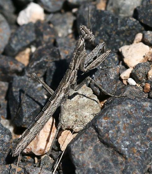mantis...dark grays - Litaneutria skinneri
