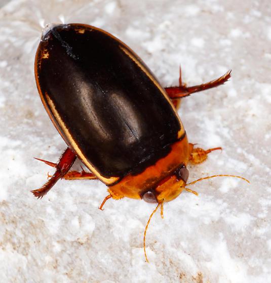 Hydaticus bimarginatus - Prodaticus bimarginatus - male