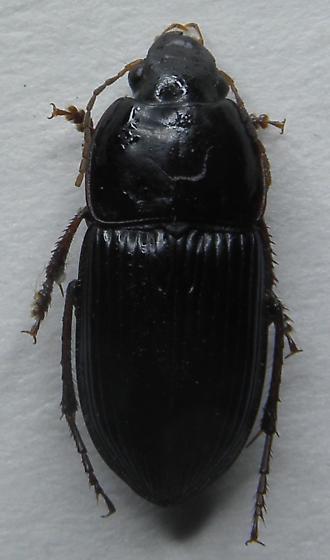 Anisodactylus? - Anisodactylus dulcicollis - male