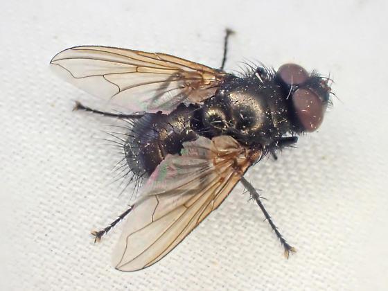 Oestroidea - Pollenia