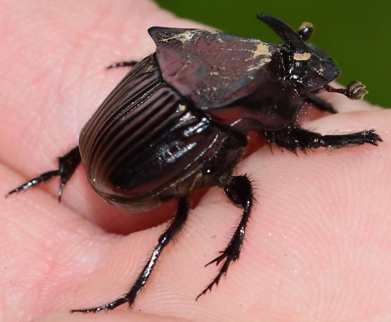 Rhino Beetle? - Phanaeus triangularis