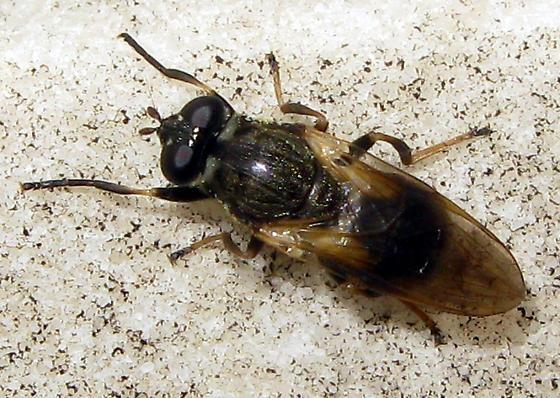 Syrphid Fly - Myolepta varipes