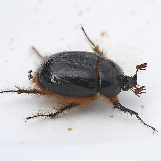 Beetle ID - Pleocoma fimbriata - male