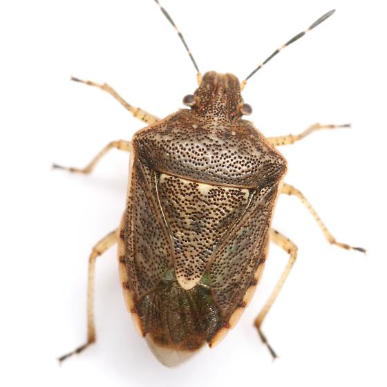 Moromorpha tetra (Walker) - Moromorpha tetra