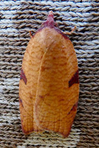 Tortricidae - Amorbia cuneanum