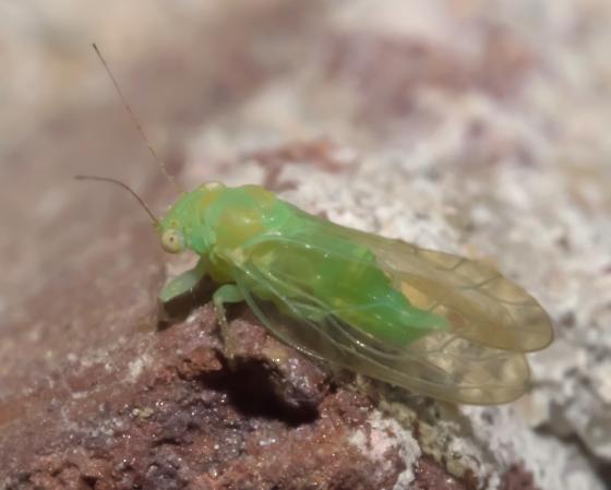 Green bug - Psylla carpinicola