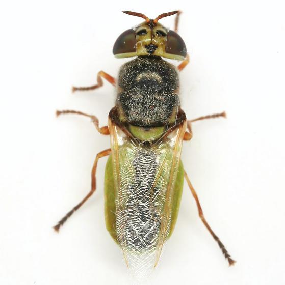 Stratiomyine - Odontomyia - female