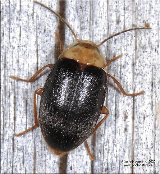 Coleoptera - Sacodes pulchella