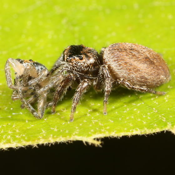 Jumping spider - Evarcha hoyi - female