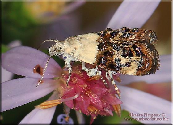 Moth sp - Caloreas leucobasis