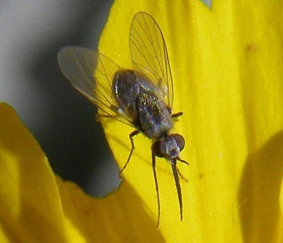 beefly - Acreophthiria