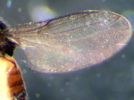 Small Brachycera Wing