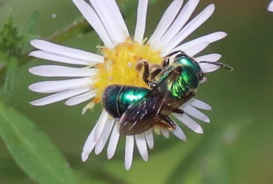 Green metallic bee - Augochlora pura