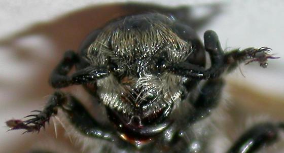 Wasp - Dielis trifasciata - female