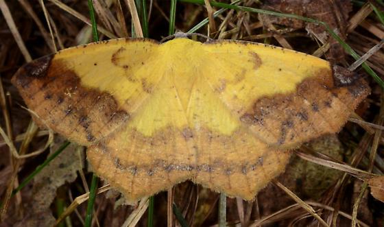 Antepione thisoaria variation - Antepione thisoaria - male
