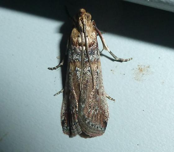 unknown moth - Adelphia petrella