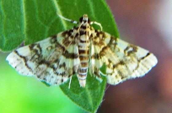 Moth 052918 - Apogeshna stenialis